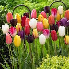 Цибулини тюльпанів, суміш різних сортів та розмірів, 15шт одна упаковка- 45грн,