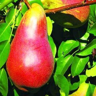 Саженцы Груши Вересневе Дево - осеннего срока, крупноплодная, сладкая, зимостойкая