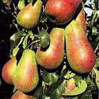 Саженцы Груши Вересневе Дево - осеннего срока, крупноплодная, сладкая, зимостойкая, фото 2