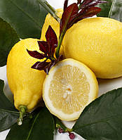 """Лимон """"Фемминелло Каррубаро"""" 20-25 см. Комнатный, фото 1"""