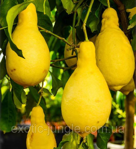 Лимон ´Pyriformis` Грушевидный 20-25 см. Комнатный