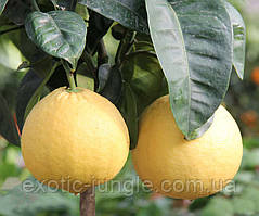 Лимон Липо (Citrus Limon x Citrus Paradisi Lipo, Imperial lemon) 20-25 см. Комнатный