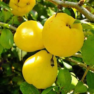 Саджанці Айви грушоподібної Соковита - самоплідна, високоврожайна, невибаглива.