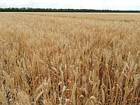 Озима пшениця Паляниця