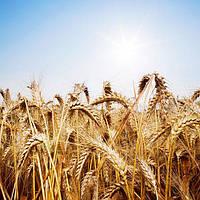 Озима пшениця Ампер