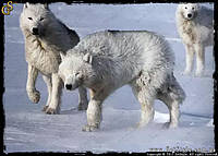 """Зуб Полярного волка - """"Wolf Fang"""" - редкая модель!"""