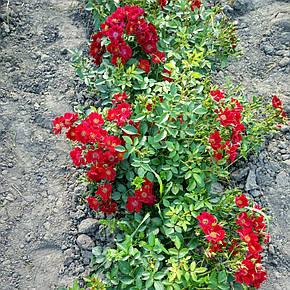 Роза Биненвайде Рот (Bienenweide Rot) Почвопокровная, фото 2