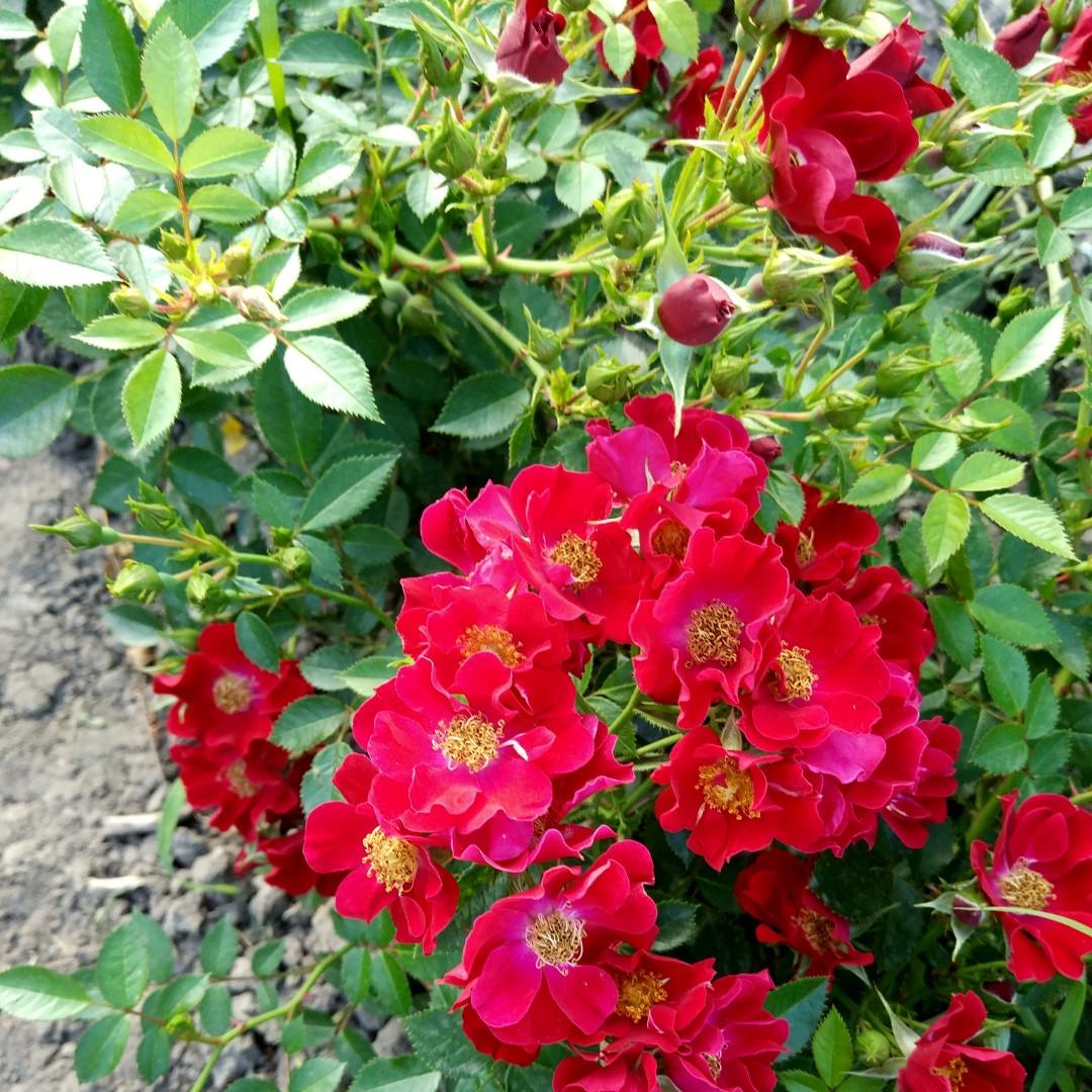 Роза Биненвайде Рот (Bienenweide Rot) Почвопокровная