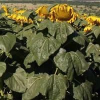 Семена подсолнечника Мир (95-105 дн) сорт масличного направления, фр. стандарт (1 репродукция)