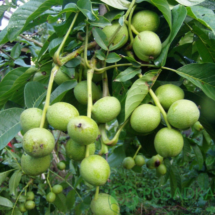 Грецкий орех Кочерженко