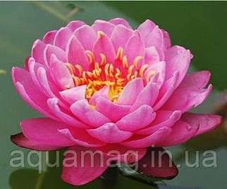 Nymphaea «Perry´s Fire Opal»