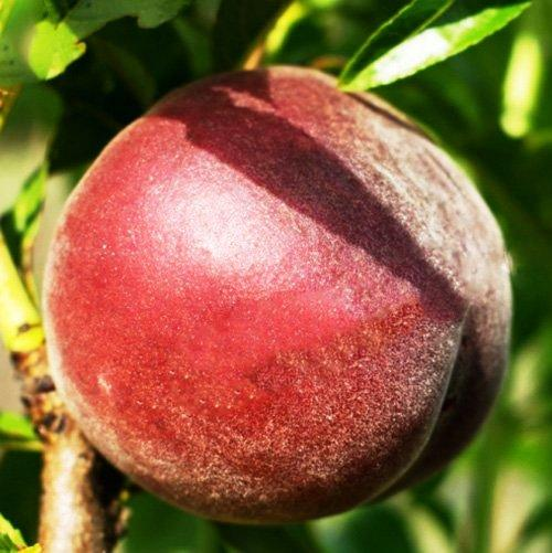 Саженцы Персика Шугар Тайм - ранний, урожайный, неприхотливый