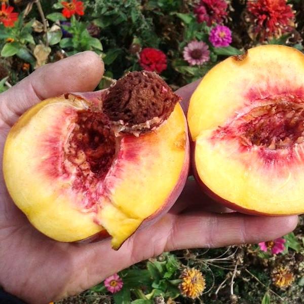 Саженцы Персика Лаурол  - поздний, крупноплодный, зимостойкий