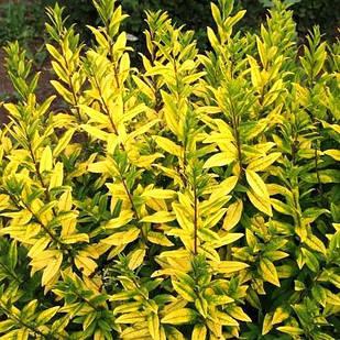 Саженцы Бирючины обыкновенной Ауреум (Ligustrum vulgare Aureum)