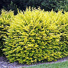 Бирючина обыкновенная Ауреум (Ligustrum vulgare Aureum), фото 2