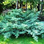 Саженцы Можжевельника виргинского Хетц (Juniperus virginiana Hetz), фото 3