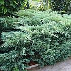 Саженцы Можжевельника виргинского Хетц (Juniperus virginiana Hetz), фото 2