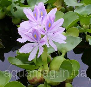 Эйхорния (водяной гиацинт)
