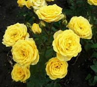 Саженцы спрэй розы Голден Бэби