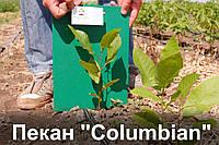 Пекан орех саженец сорт Columbian (однолетний) кария саджанці горіх карія Carya illinoinensis