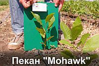 """Пекан орех саженец сорт """"Mohawk"""" (однолетний) кария саджанці горіх карія Carya illinoinensis"""