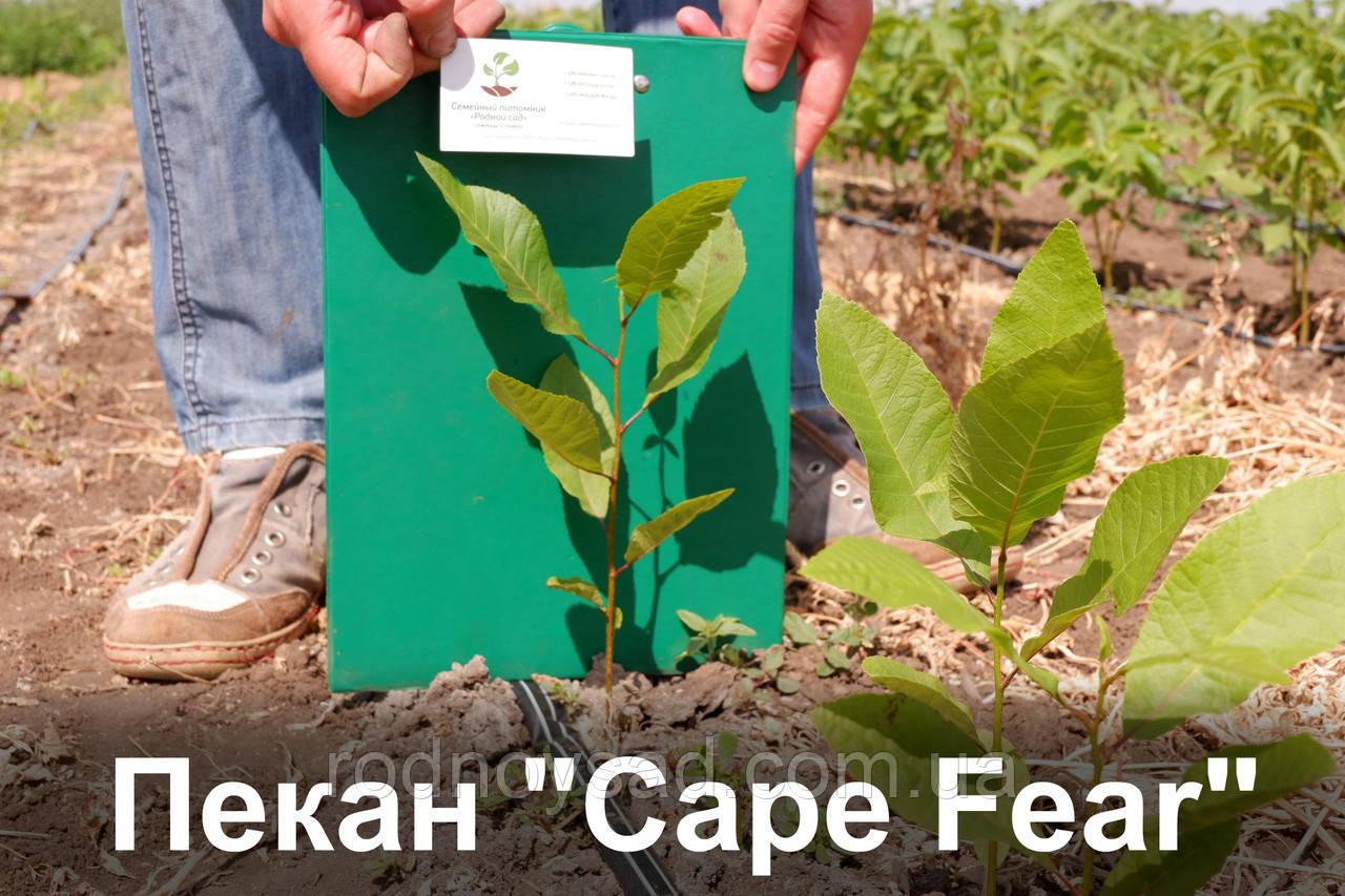 """Пекан орех саженец сорт """"Cape Fear"""" (однолетний) кария саджанці горіх карія Carya illinoinensis"""