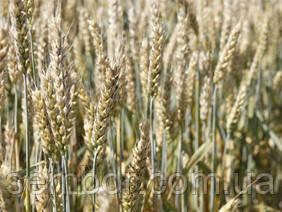 Насіння пшениці озимої Етана(1 репродукція)
