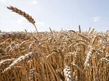 Насіння пшениці озимої Етана(1 репродукція), фото 2