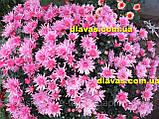 Хризантема шарообразная РОЗОВАЯ ИГОЛКА, фото 3
