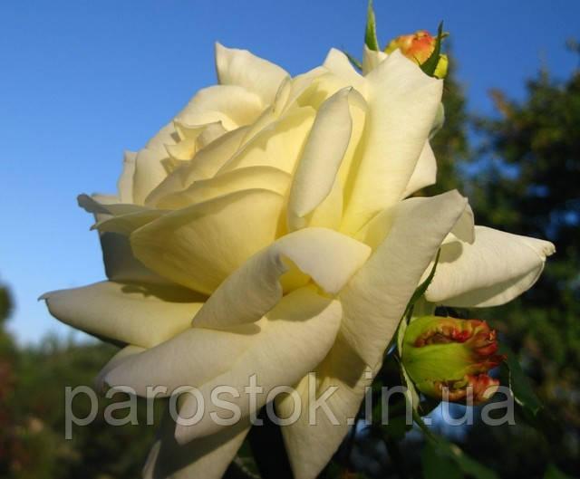 Роза Шнеевальзер.(с) Плетистая роза