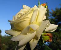 Роза Шнеевальзер.(с) Плетистая роза, фото 1