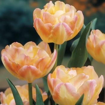 Тюльпан махровый Creamy Upstar