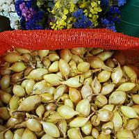 Цибуля сіянка Голіат 10/21 (Top Onions), озима, 1 кг