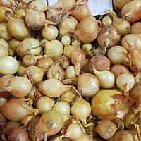 Озима цибуля сіянка Августа 8/21 (Top Onions), 1 кг