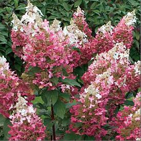 Гортензія волотиста Magical Flame 2 річна, Гортензия метельчатая Меджикал Флейм, Hydrangea paniculata