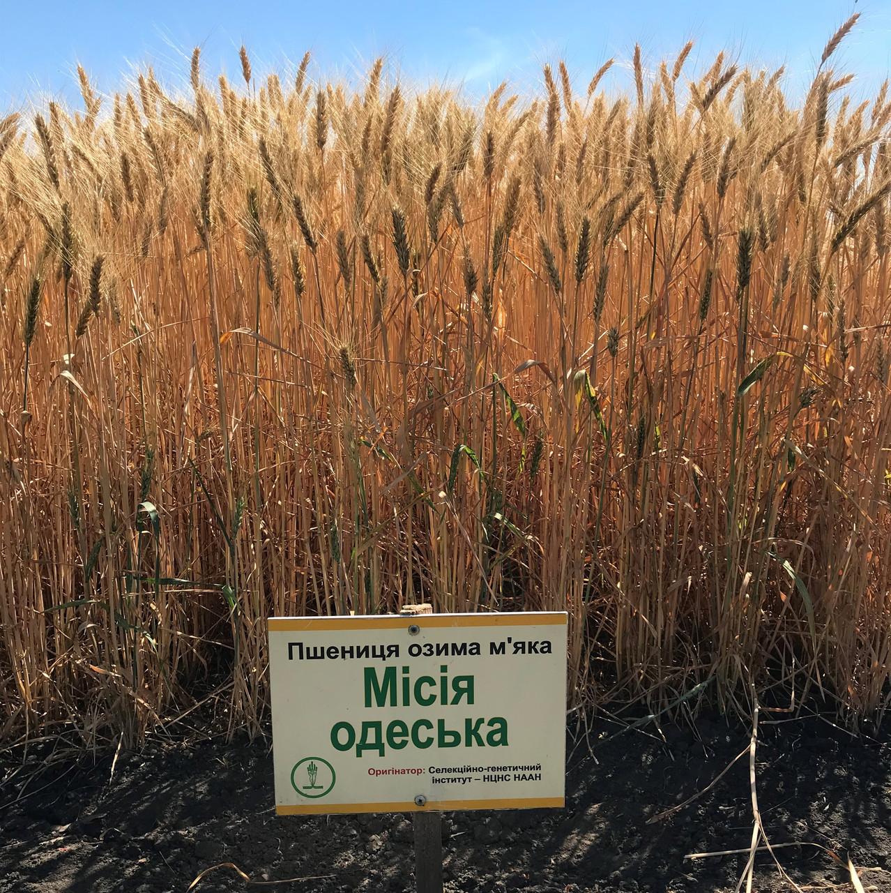 Місія Одеська насіння озимої пшениці