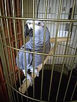 Как приручить взрослого попугая