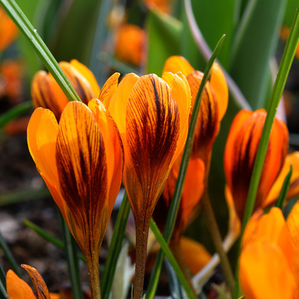 Крокус ботанический Orange Monarch, луковица