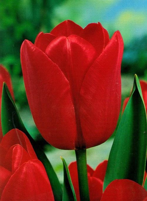 Тюльпан Триумф Bastogne, луковица