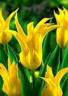 Тюльпан Лилиевидный Ballade Gold, луковица
