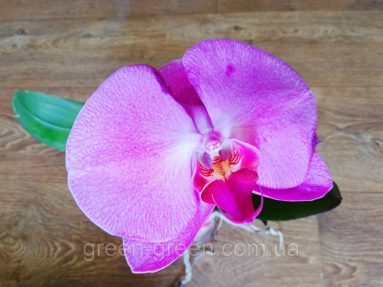Орхідея Singolo Pink (не квітуча)