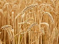 Озимая пшеница ОСПИ приор