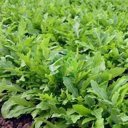 Рукола Грація / Grazia Enza Zaden, 1000 насінин (драже)