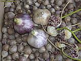Озимый чеснок для посадки Сорт Прометей семена(воздушка) 0.5 кг, фото 3