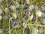 Озимий часник для посадки Сорт Прометей насіння(воздушка) 100 гр, фото 2