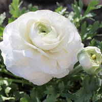 Лютики White, луковица, фото 1