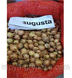 Озима цибуля Августа, кг