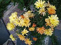 Хризантема саженец, оранжевая ромашка