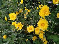 Хризантема саженец, жёлтая ромашка