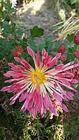 Хризантема саженец, сиреневая ромашка